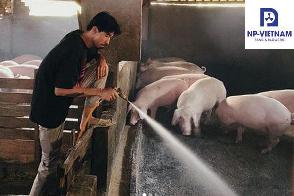 Làm mát trang trại lợn truyền thống.